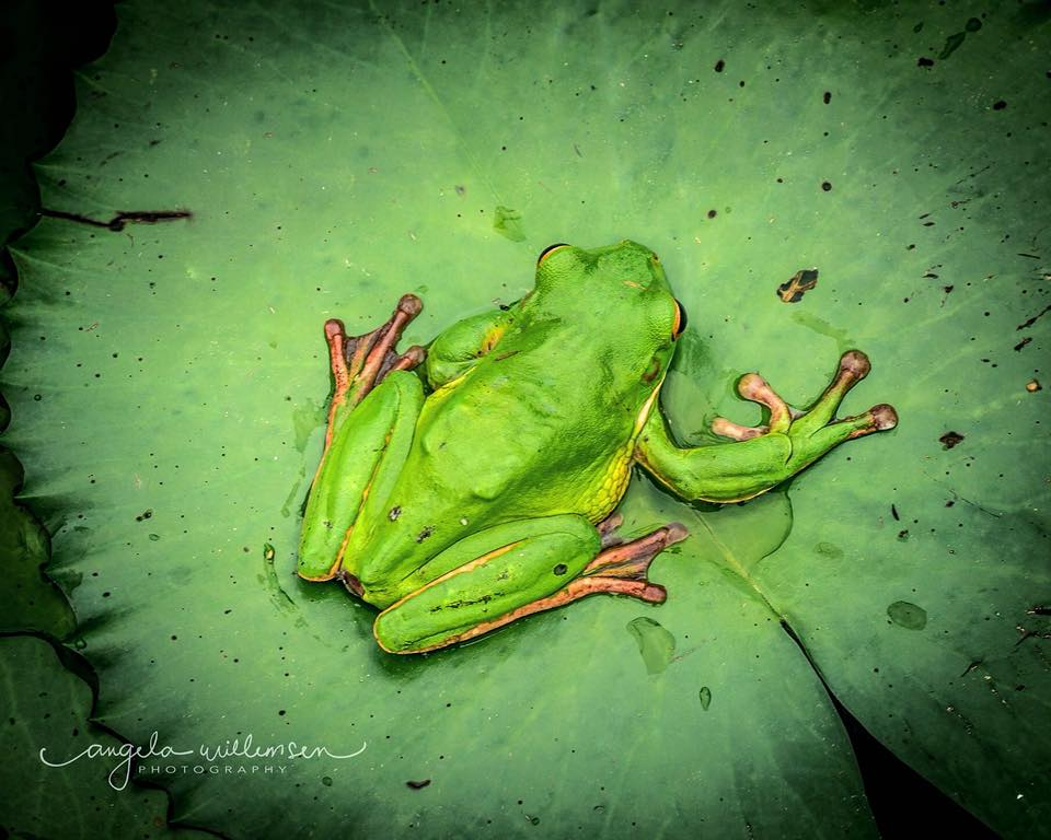 Tree Frogs come out in the rain
